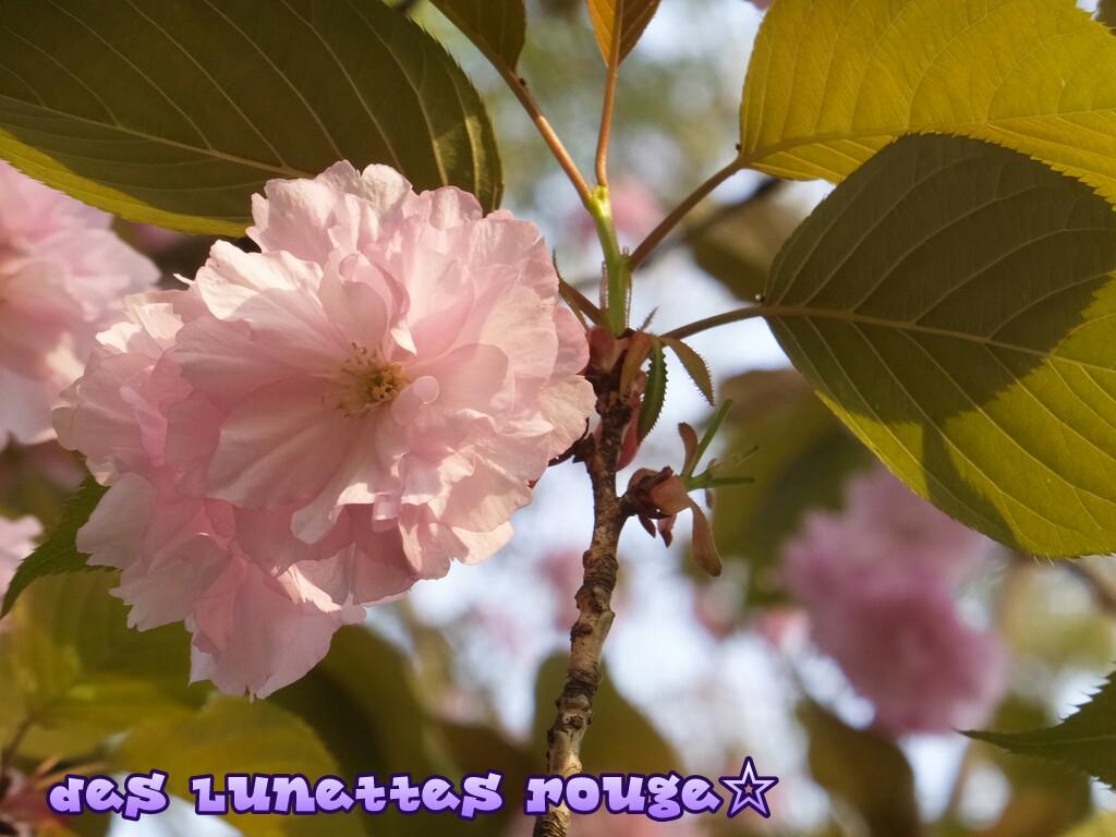 桜:今川公園