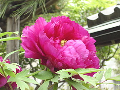花・牡丹②