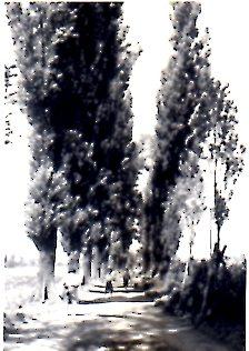 北海道大学ポプラ並木・1960年264