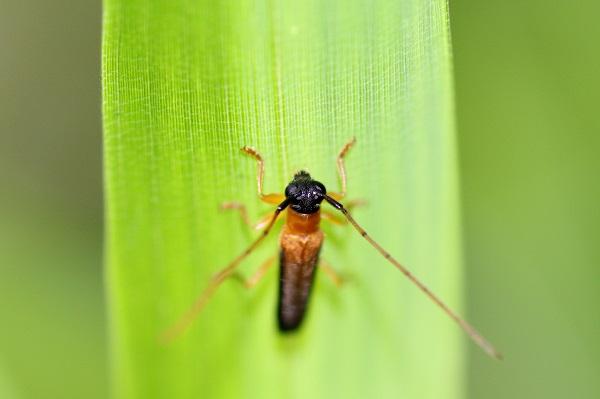 ヘリグロリンゴカミキリbv