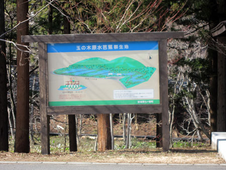 七ヶ宿町の 玉の木原水芭蕉群生地