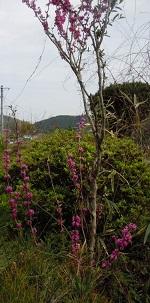 田舎の春2