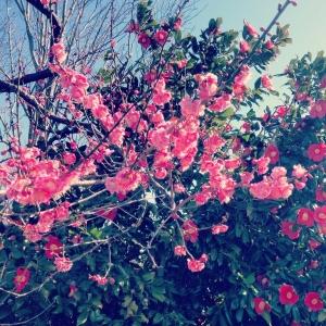 桃の花と椿。春になりました。