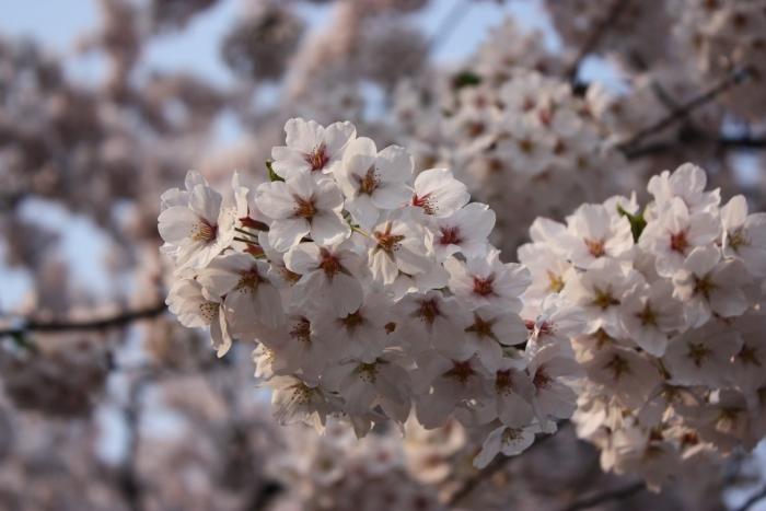 20140426弘前公園桜