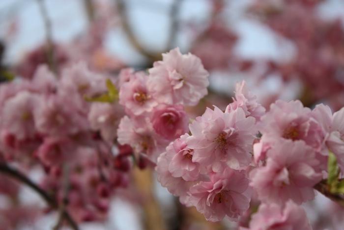 20140426弘前城しだれ桜2