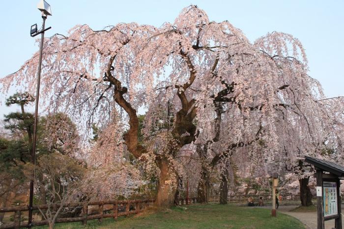 20140426弘前城しだれ桜1