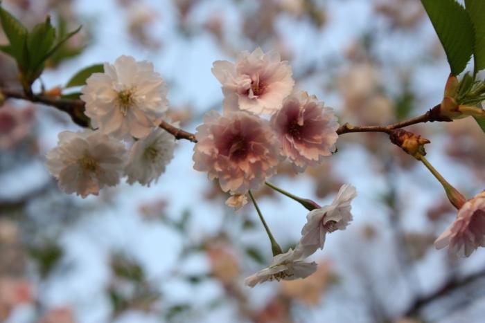 20140426子福桜