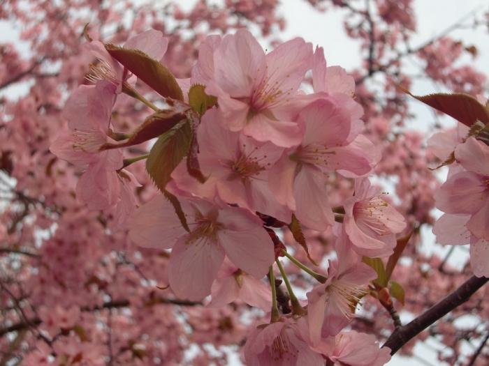 20140427山桜