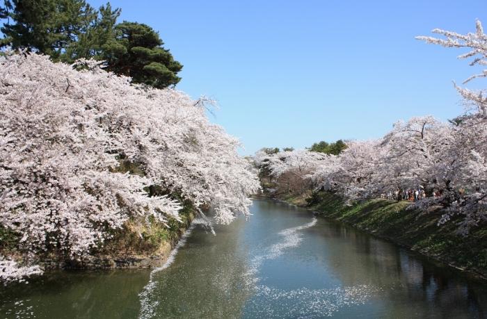 20140430弘前桜3