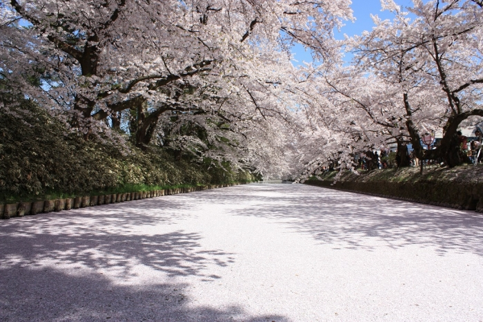 20140430弘前桜2