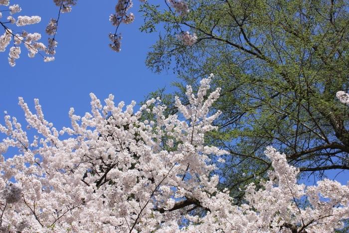 20140430弘前桜9