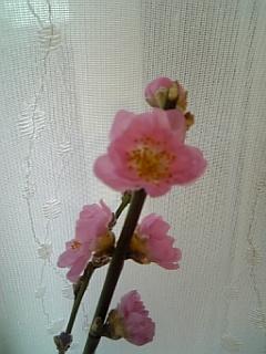 20140301桃の花