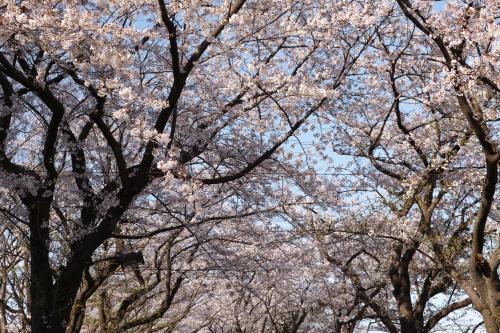 sakura2014b_01.jpg