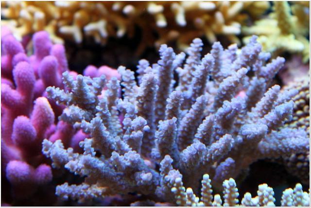 ブル-サンゴ