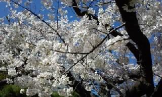 花離宮桜2014-3