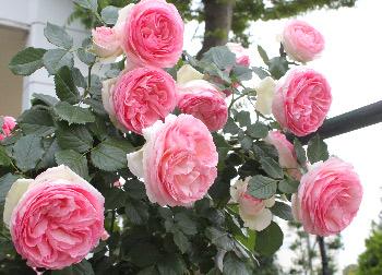 2014-deco-rose.jpg