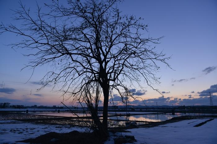 夕暮れ 柿の木-1