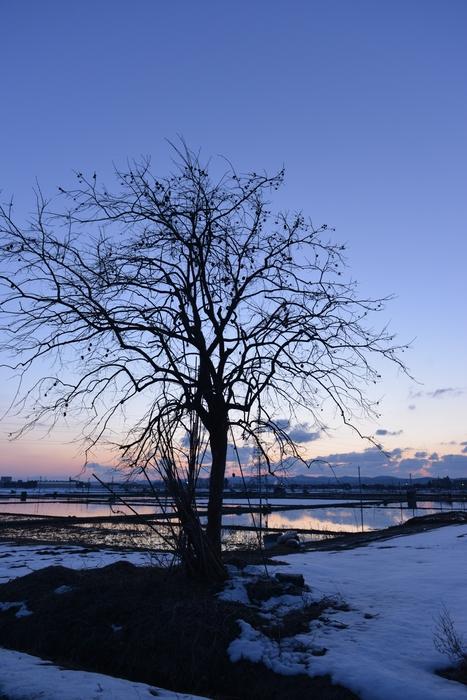夕暮れ 柿の木-2