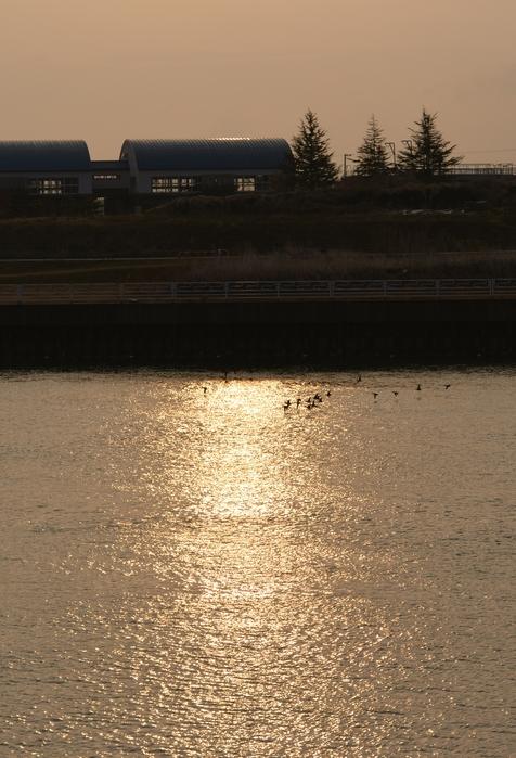 朝日を浴びて 鴨たち-1