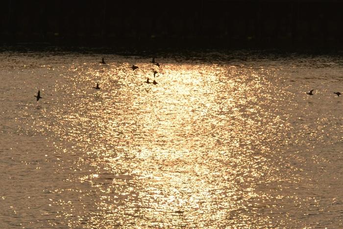 朝日を浴びて 鴨たち-2