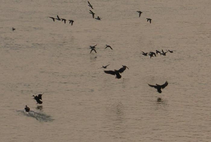 朝日を浴びて 鴨たち-3