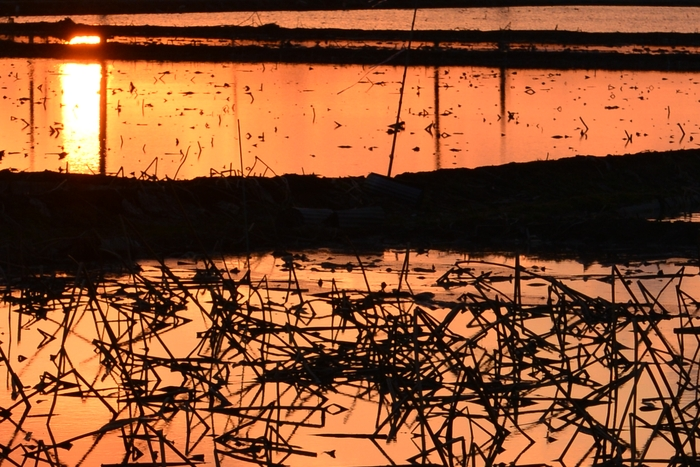 レンコン畑の夕陽 そのⅡ-2