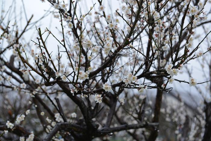 梅が咲いた-1