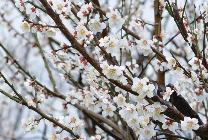 梅が咲いた-2