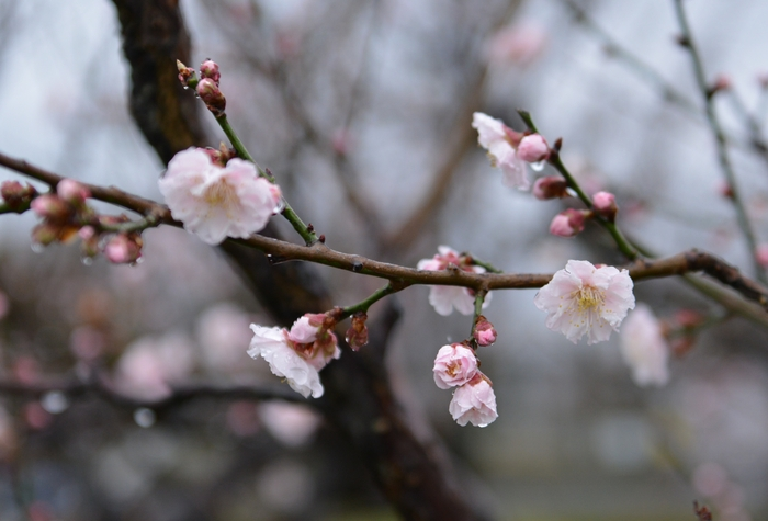 梅が咲いた-3