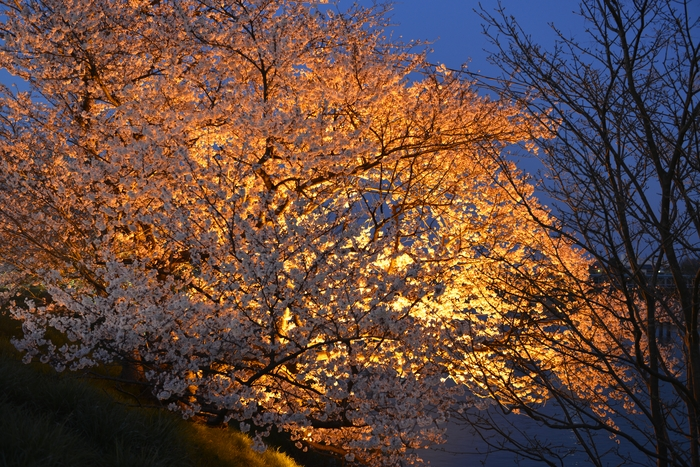 桜 ライトアップ-1