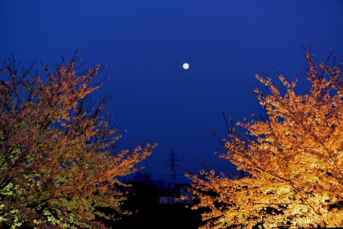桜 ライトアップ-2