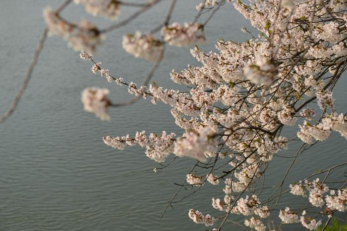 桜 川面-1