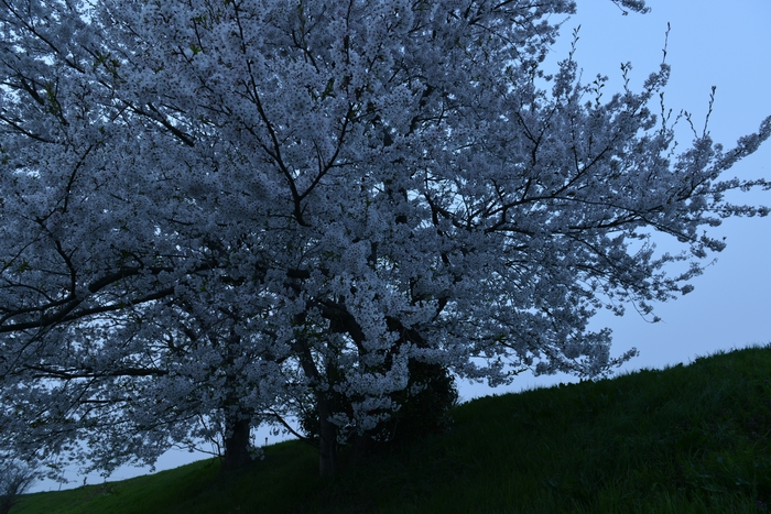 桜 フラッシュに浮かぶ-1