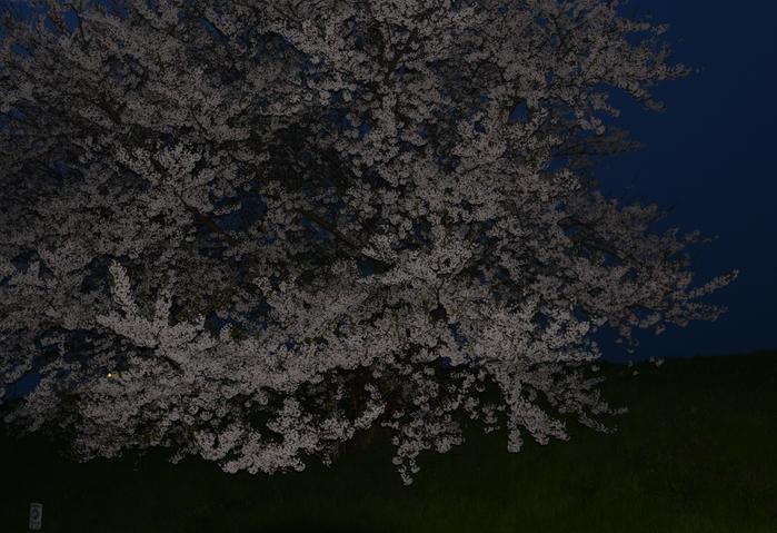 桜 フラッシュに浮かぶ-3