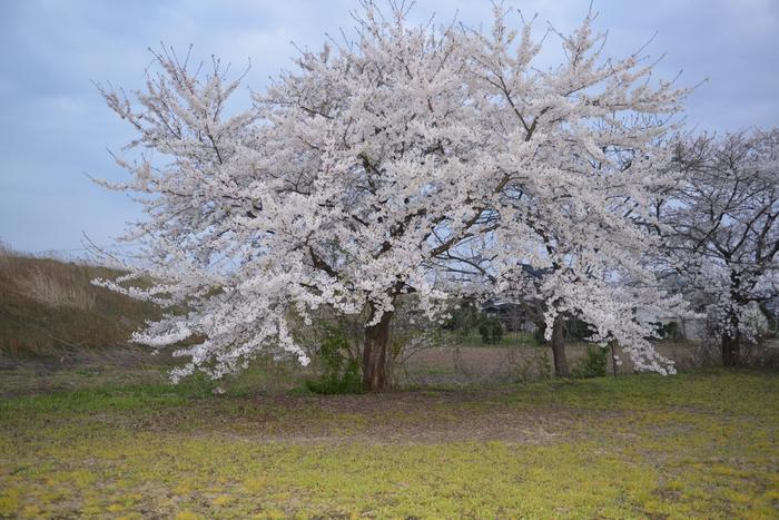 桜 堂々-2