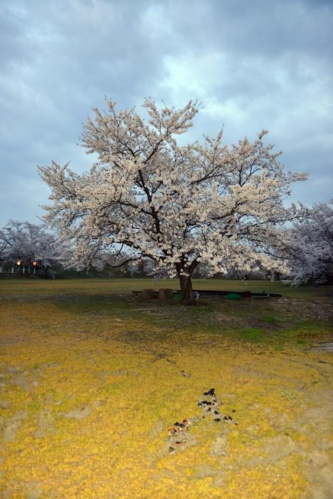 桜 堂々-3