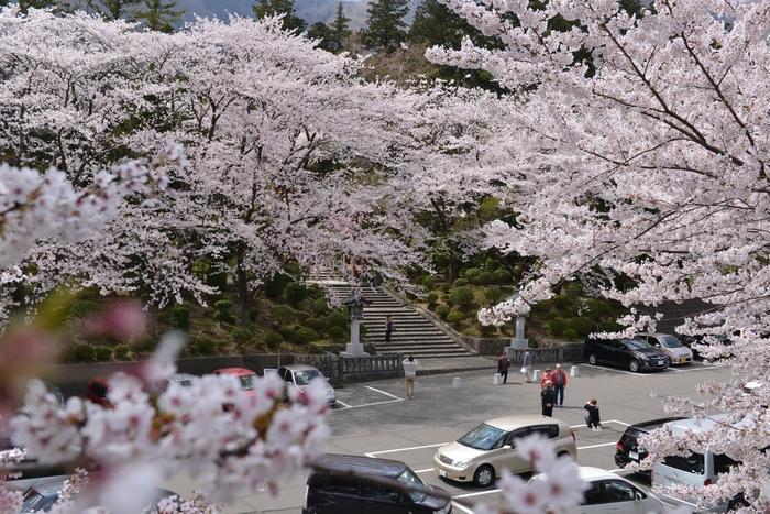 弥彦の桜-Ⅰ-1