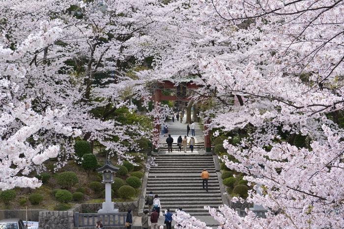 弥彦の桜-Ⅰ-2