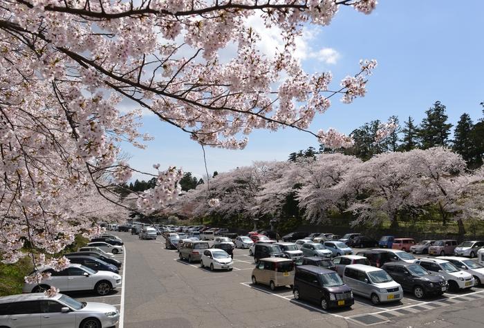 弥彦の桜-Ⅰ-3