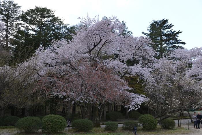 弥彦の桜-Ⅱ-1