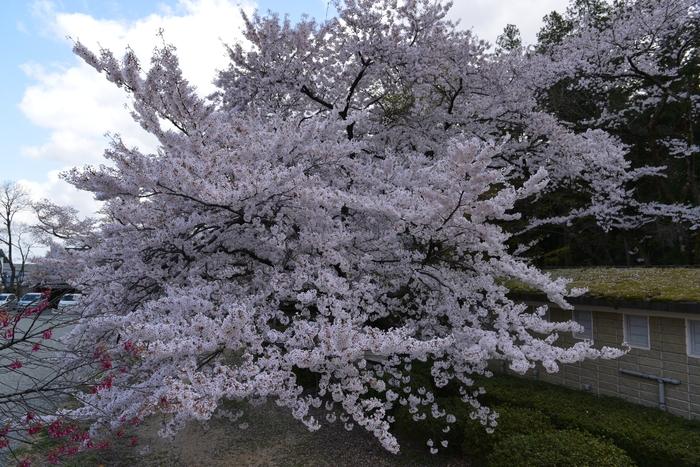 弥彦の桜-Ⅱ-2