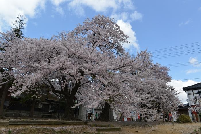 弥彦の桜-Ⅱ-3