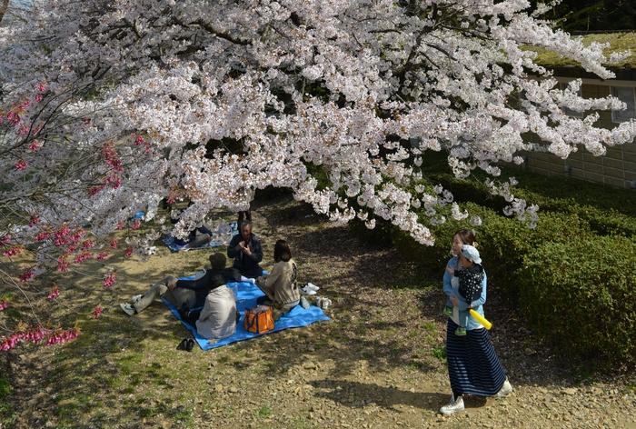 弥彦の桜-Ⅲ-1