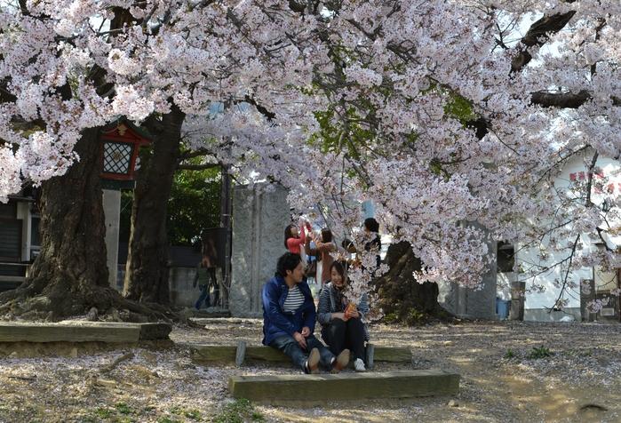 弥彦の桜-Ⅲ-2