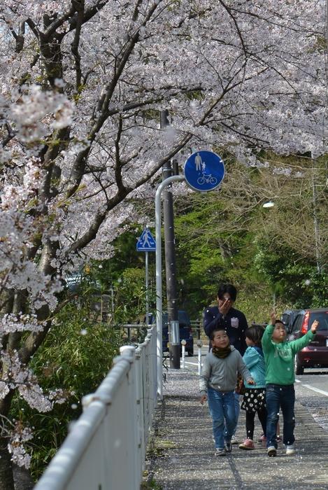 弥彦の桜-Ⅲ-3