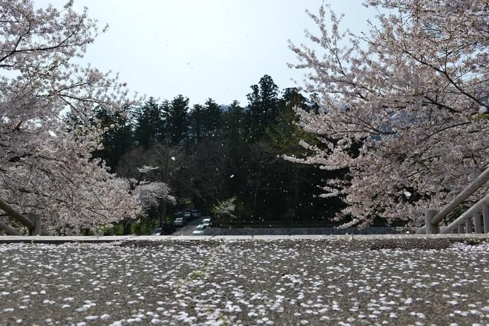 弥彦の桜 Ⅳ-1
