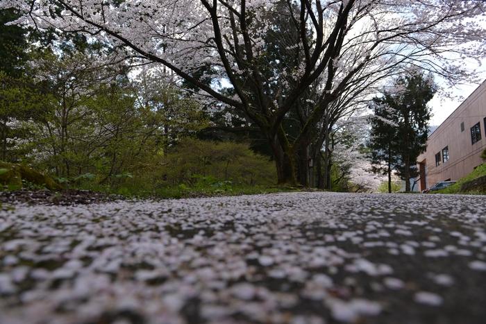 弥彦の桜 Ⅳ-2