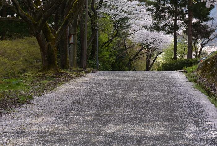 弥彦の桜 Ⅳ-3
