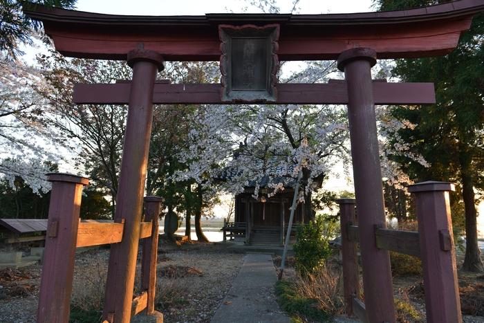 大権現と桜-1