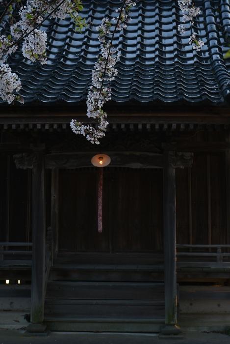 大権現と桜-2